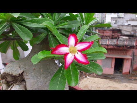 How To Fertilize Adenium To Get Flowers Get More Flowers In Adenium अड न म क ख द क स द Youtube Planting Flowers Plants Flowers