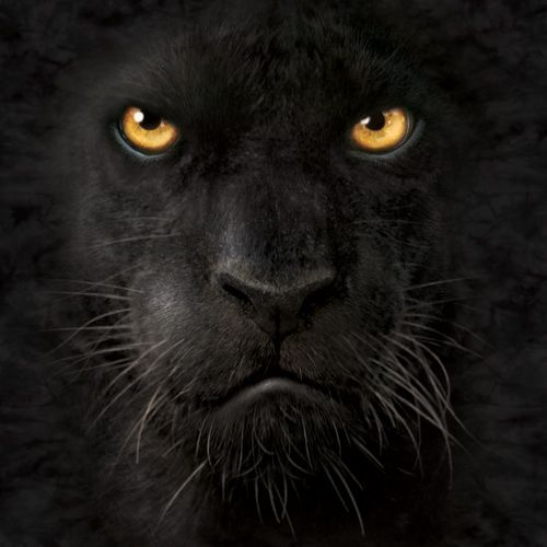 The Mountain - Black Panther | Animals that I love ... Panther Face