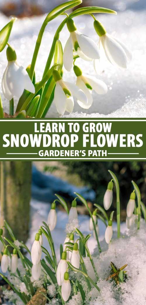 Snowdrops In 2020 Bulb Flowers Flower Garden Design Plants
