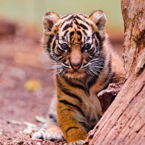 Tiger cub にゃお♡