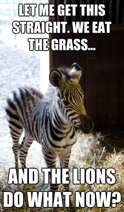 17 New Funny Zebra Meme Photo 2021 Zebra Funny Photo