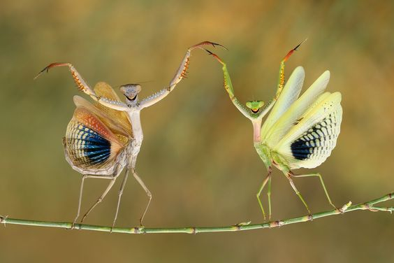 Mantises in a defense position