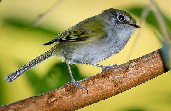 Foto estalinho (Phylloscartes difficilis) por Ernani Oliveira | Wiki Aves - A Enciclopédia das Aves do Brasil
