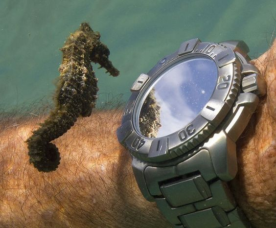 Tiny seahorse looking at watch