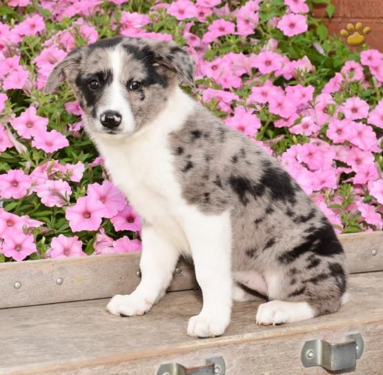 Misty Australian Shepherd Mix Puppy For Sale In Fredericksburg