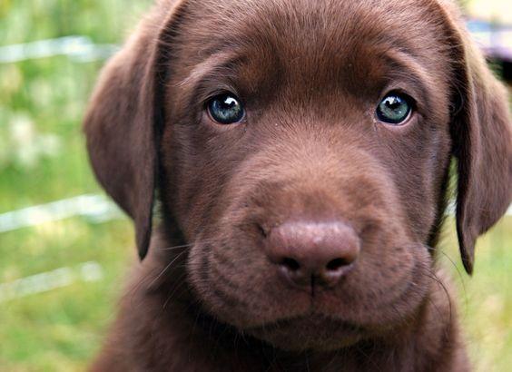 Un labrador retriever couleur chocolat au regard troublant
