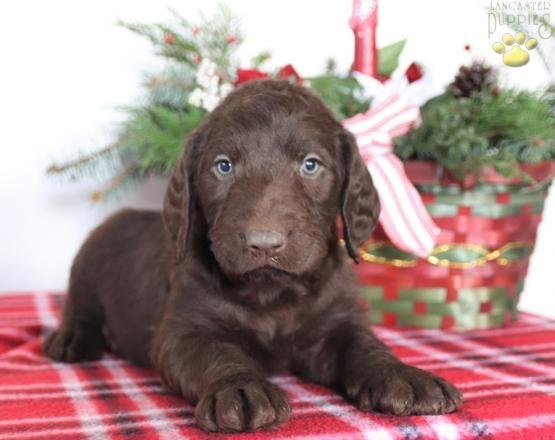 Labradoodle Charming Puppiesofpinterest Pinterestpuppies Lancasterpuppies Puppies Pups Pup Labradoodle Puppy Labradoodle Puppies For Sale Labradoodle