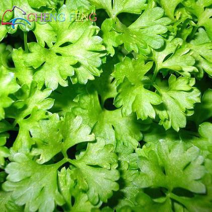 150 Pcs Coriander Seeds Seasons Parsley Seeds Organic Coriander Seeds Balcony Vegetables Japanese Small Seeds Bonsai Rare Salad