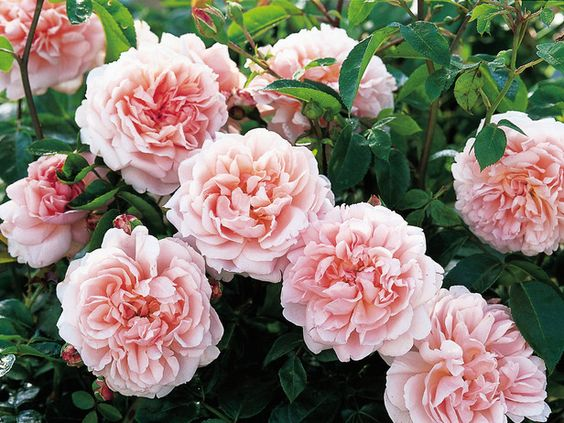 Shrub roses are a wildly varied lot, with flowers that come in a number of colors, sizes and petal densities. Most shrub roses suit a mixed border, provided they get full sun and well-drained or moist soil.  Wildeve, shown here (also known as 'Ausbonny'), has apricot-flushed pink fragrant blooms, which sit atop long, arching stems.