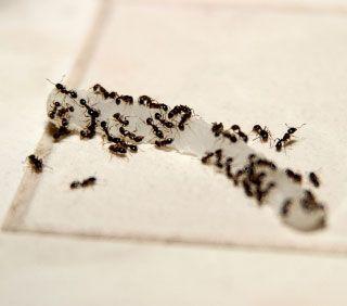 Hormigas Rid con una pasta de bórax. Las hormigas llevan de nuevo a su colonia, que mata a todo el nido. Mezcle 1 cucharadita de bórax o ácido bórico y azúcar 1 cucharadita de miel o con agua suficiente para hacer una pasta fina, y poner la mezcla en un frasco pequeño cerca de donde las hormigas han sido buscando alimento.
