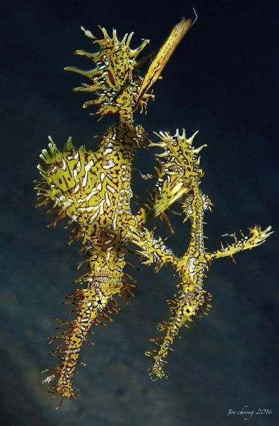 Ghost Pipefish - by Joe Choong #Pipefish