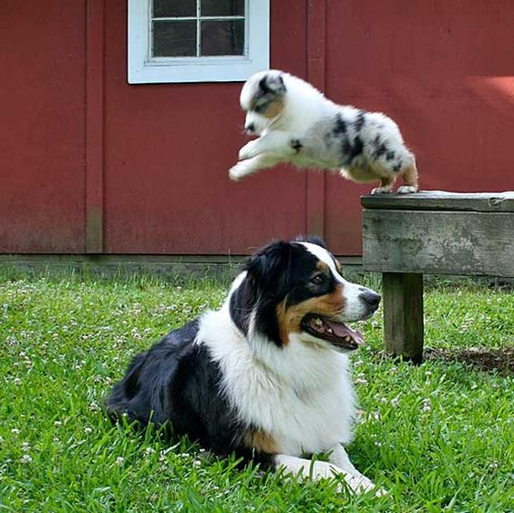 Our kendall was just like this. Australian Shepherd Photo of the Month — Photo: Amanda Warrington, Aussies: Charlie and Danny