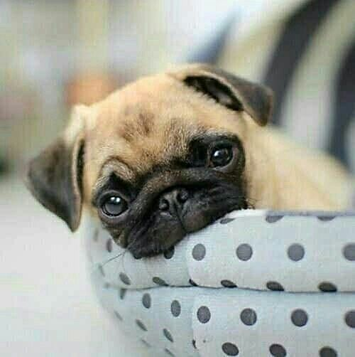 I M Ready For My Weekend Snuggles Www Jointhepugs Com Pug