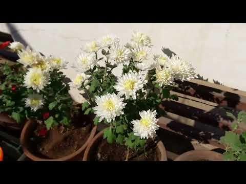 Guldaudi Chrysanthemum Care And Fertilizing ग लद उद क द खभ ल Youtube Chrysanthemum Care Chrysanthemum Plant Fertilizer