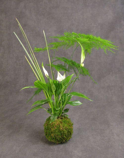 Spathiphyllum chopin ou Fleur de lune, Asparagus plumosus ou setaceus ou asparagus des fleuristes, Acorus garmineus ou jonc japonais