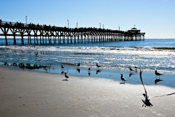 A beautiful flock of seagulls at the cherry grove pier in for Cherry grove pier fishing report