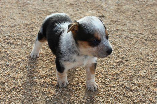 Litter Of 7 Australian Cattle Dog Puppies For Sale In Phoenix Az Adn 70958 On Puppyfinder Com Gender Cattle Dogs Rule Cattle Dog Australian Cattle Dog Puppy