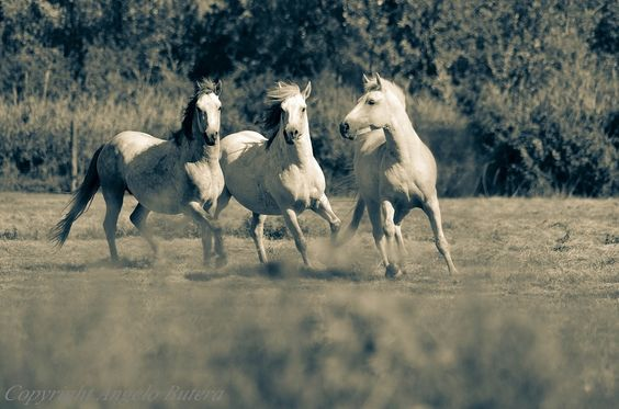 Cavalli Camargue by angelo butera on 500px.