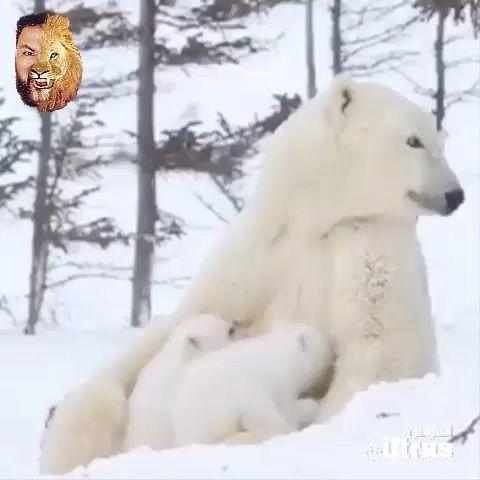 افتراس حيوانات Animals 动物 On Instagram Iftras Iftras Iftras ترعى الأم الحنون صغارها منتظرة بلوغهم سنا يسمح لهم بمرافقتها في رحلة ص Polar Bear Animals Bear
