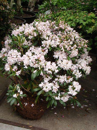 Rhododendron Hybride 'INKARHO Dufthecke' / Rhododendron 'INKARHO Dufthecke' - Pflegeleichter Hybrid-Rhododendron mit süßlich duftenden, weißen Blüten.