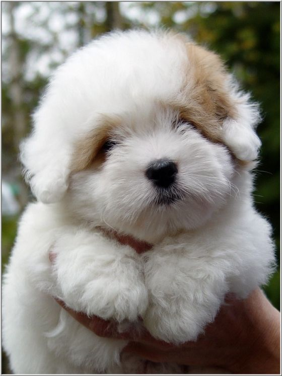 "Her name is ""Blossom.""  She is a Coton de Tulear, a breed of small dog named for the city of Tulear in Madagascar and for its cotton-like coat."