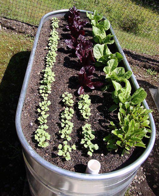Galvanized tub vegetable garden #VegetableGardening