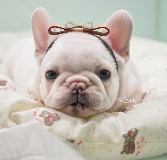 French Bulldog Puppy F Vely French Bulldog Puppies Bulldog