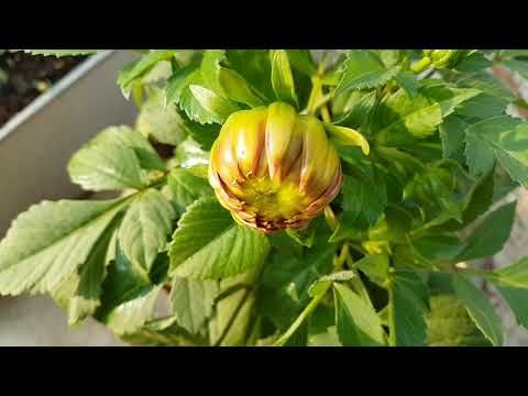 416 How To Grow And Care Dahlias Youtube Dahlia Flower Garden Winter Flowers