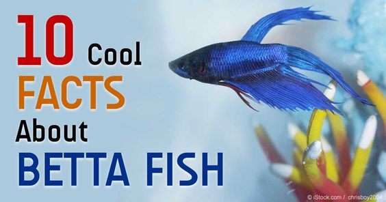 Betta fish betta and fish on pinterest for How much does a betta fish cost