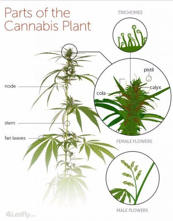 cannabissplant