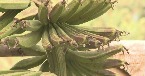 Geadas causam prejuízo de R$ 30 mi a produtores de banana de SP