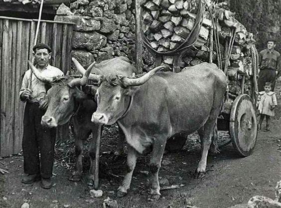 Os Piñeiros - Moaña, anos 50.  Carrexando na leña. xenealoxia.org