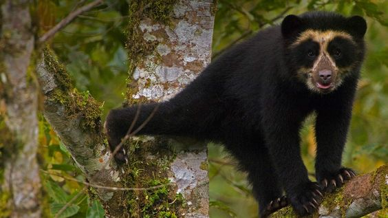 A spectacled bear cub in Maquipucuna Cloud Forest Reserve, Ecuador (© Pete Oxford/Minden Pictures) – 2015-08-24  [http://www.bing.com/search?q=spectacled+bear&form=hpcapt&filters=HpDate%3a%2220150823_0700%22]