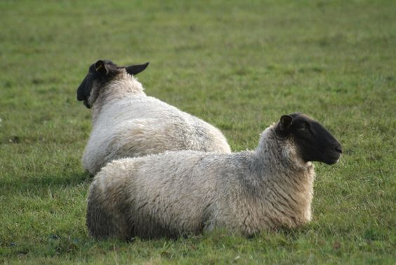 Did you know? A one-year old sheep is called a hogget!