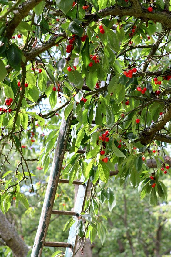 Cherry orchards - Faversham, Kent - the traditional way!-----broke my arm falling from one of these while picking cherries.  Would do it again, though (preferably minus the fall. lol.)