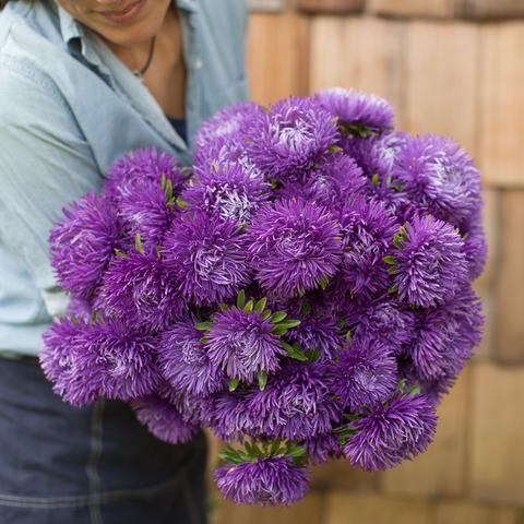 China Aster Royal Purple Mix Flower Farmer Flower Farm Gardening For Beginners