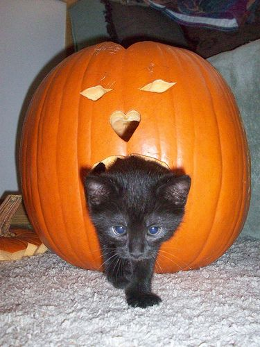 Pumpkin cat :)