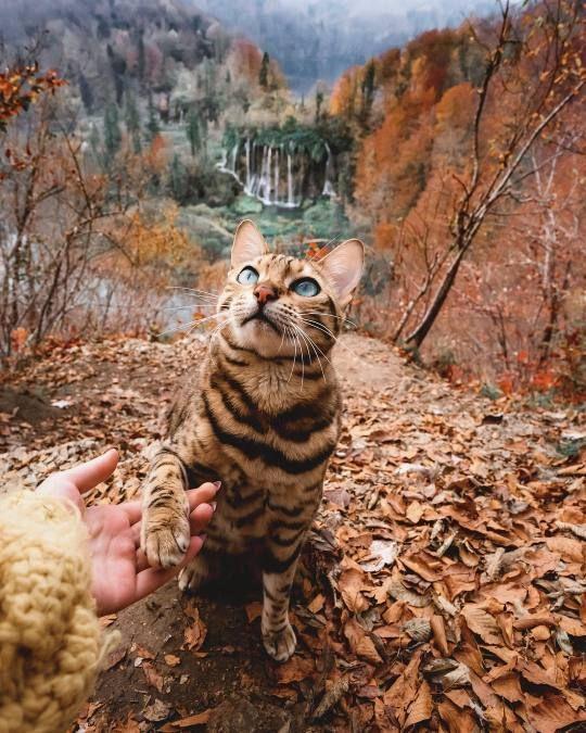 Shake Bengal Cat Adventure Cat Beautiful Cats