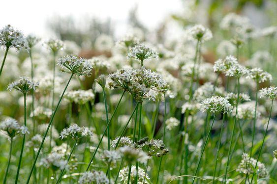 Gartenzauber | Schnittknoblauch - Gartenzauber