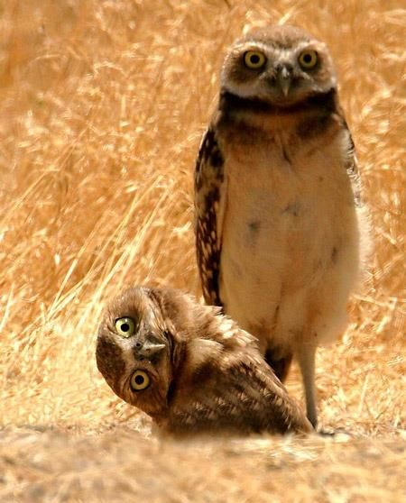 (There 's always one in every family. ...)  Us in Paris, owl style. Burrowing Owl