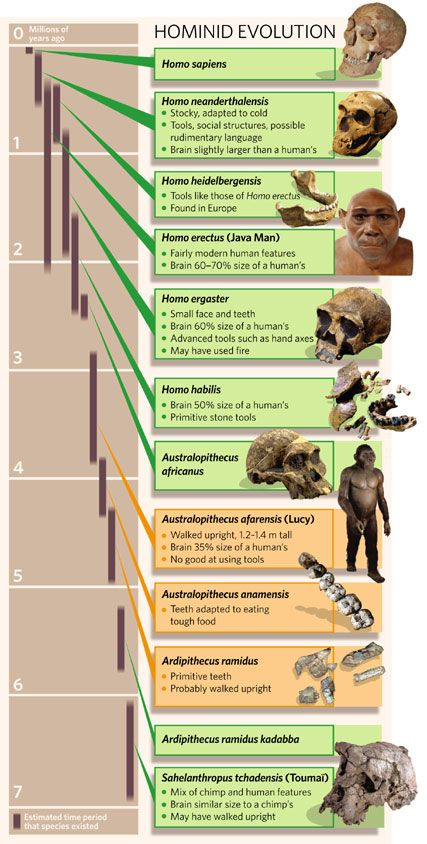 Hominid Evolution Timeline Hominid evolution char...