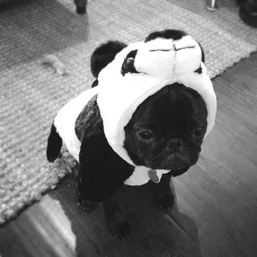 """Panda """"pug""""...so cute, so unhappy(quotes because I don't think it's a pug)"""