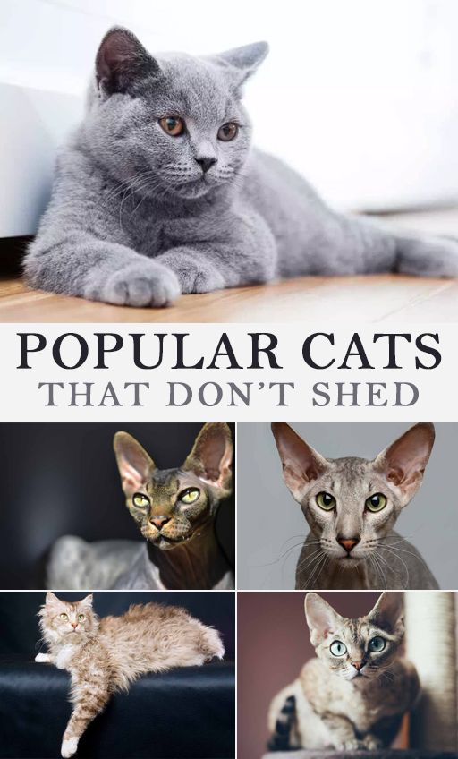 Popular Cats That Don T Shed Cats That Dont Shed Cat Breeds Cat Illnesses