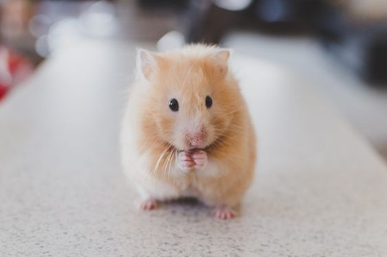 Go Shopping At Target And We Ll Tell You Which Kind Of Pet You Should Adopt Next Hamster Care Hamster Supplies Cute Hamsters