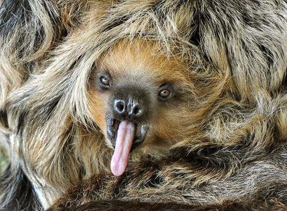An eight-month-old baby sloth Camillo yawns: