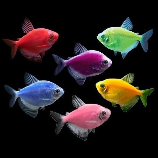 Pin On Glofish