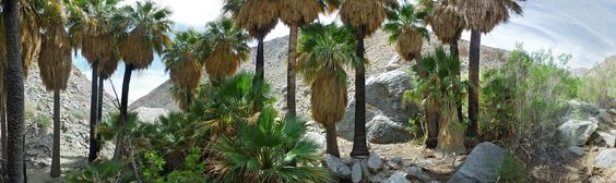 Trees in a palm grove