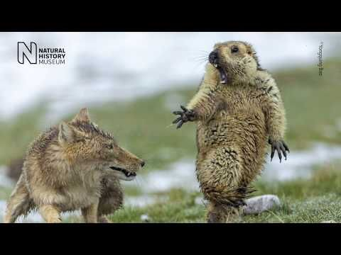 Explore The World S Best Nature Photography Exhibited On 100 Exquisite Light Panels Wildlife Photography Tibetan Fox Wildlife