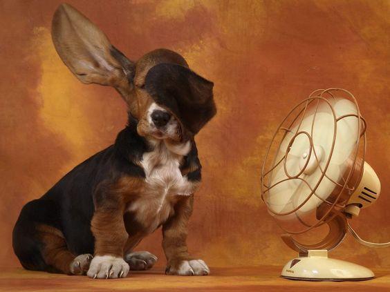 .: Hound Dog, Bassett Hounds, Big Ears, Floppy Ears, Funny Animal, Bassethound, Man, Adorable Animal