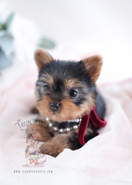 Yorkie Puppy For Sale 021 South Florida In 2020 Yorkies For Sale Yorkie Yorkshire Terrier Puppies